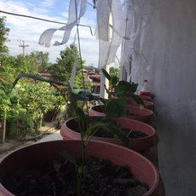 Trinidad Moruga Scorpion Chocolate Pepper Seeds photo review