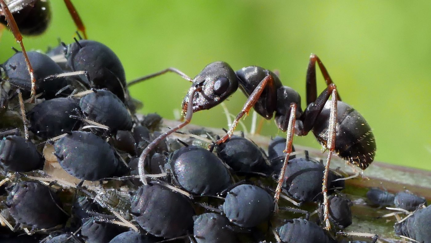 An ant eating honeydew