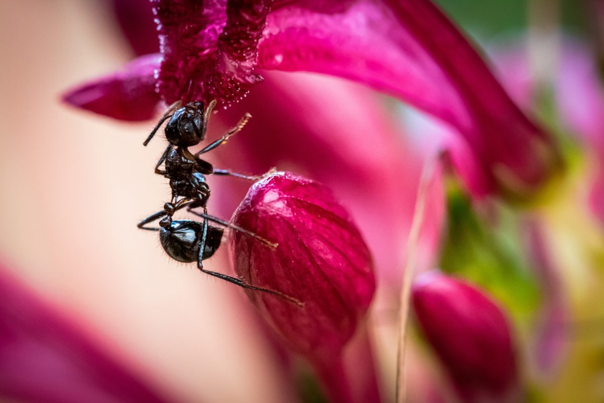An ant pollinating flowers